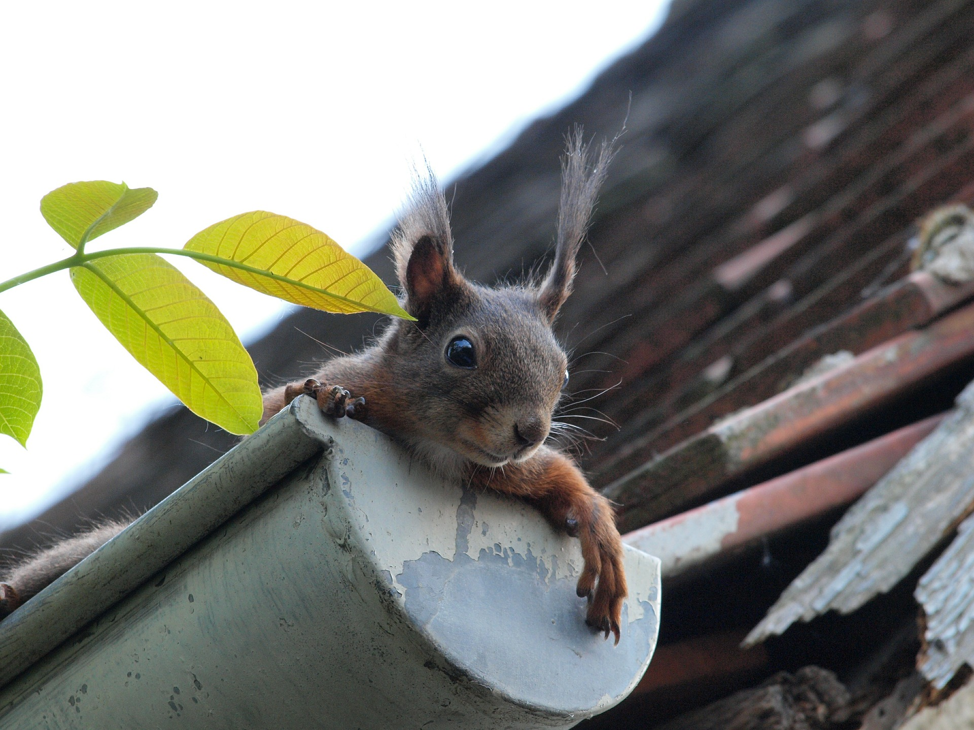 squirrel-451009_1920